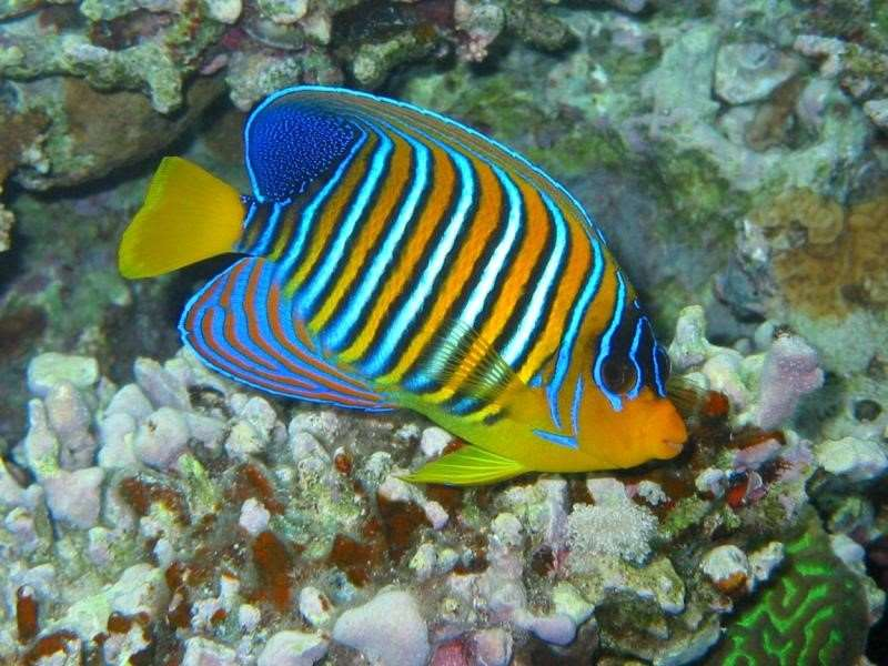 Angel fish Closely related to the butterfly fish, angel fish are often just as beautiful and as visually striking as their cousins. Measuring from 10cm to 35cm in length, they can be found feeding on sponges and small invertebrates.
