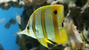 Butterfly fish Patterned in yellows, oranges, whites and blacks, butterfly fish are renowned for their beauty and gracefulness while swimming. Measuring from anywhere between 12cm and 25cm, you may be able to spot them feeding on live coral.