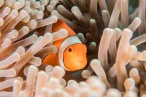 clownfish underwater hiding