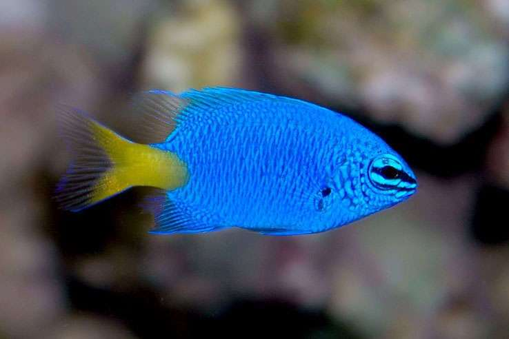 5 fish you may find in the great barrier reef distant for Great barrier reef fish