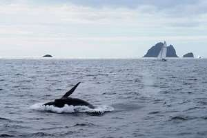 Humpback Whale Wildlife Marine Rare Endangered Sightings Sea Tours   Bay Of Islands New Zealand North Island Beautiful Stunning Scenery Pacific Ocean   Distant Journeys Australia & New Zealand Tour Holiday Packages