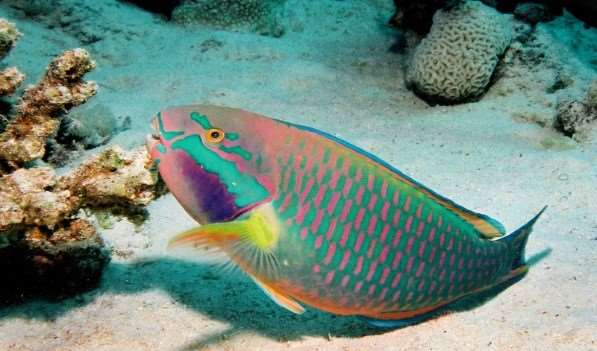 5 fish you may find in the great barrier reef distant for Blue parrot fish