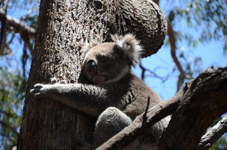 koala in kangaroo island, australia