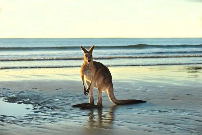 Kangaroo marsupial mammal animal beach sea waves ocean shore sand coast Australian tourism tourists international visitors travel visit news Distant Journeys Australia New Zealand escorted tours tour holidays package flights accommodation transport Sydney Melbourne Cairns Adelaide Alice Springs Great Barrier Reef Daintree Rainforest view online brochure