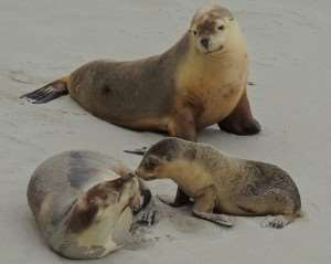 Kangaroo Island Australian sea lions seals marine life animals wildlife South Australia near Adelaide see spot visit meet Distant Journeys escorted tours touring holidays trips to Australia flights accommodation Sydney Melbourne Cairns Great Barrier Reef Alice Springs Ayers Rock