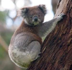 Koalas koala bears mammals freely wandering animals wildlife South Australia near Adelaide see spot visit meet Distant Journeys escorted tours touring holidays trips to Australia flights accommodation Sydney Melbourne Cairns Great Barrier Reef Alice Springs Ayers Rock
