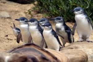 Penguins species birds animals wildlife lakes countryside scenery views beautiful facts about New Zealand interesting exciting Distant Journeys escorted guided tours tour holidays Australia Melbourne Sydney Adelaide Alice Springs Ayers Rock Cairns Great Barrier Reef Auckland Wellington Marlborough Milford Sound free brochure online to view