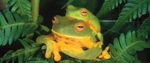 Frogs in the Daintree Rainforest | Cairns Rainforest Tours Australia | Distant Journeys