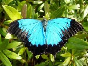 Ulysses Butterfly in the Daintree Rainforest | Cairns Rainforest Tours Australia | Distant Journeys