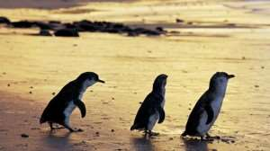 Phillip Island attractions on Melbourne Coach Tours with Distant Journeys