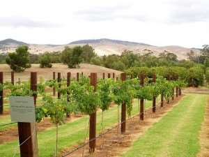 Vineyard at Barossa Valley Adelaide attractions tours of Australia Distant Journeys