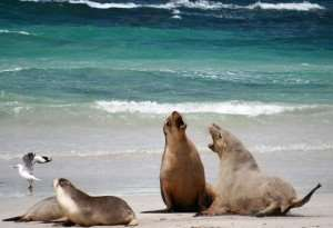 Kangaroo Island seals Adelaide attractions tours of Australia Distant Journeys