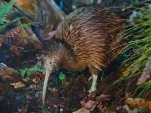 Conservation group releases 200th kiwi into the wild visit New Zealand Tasti Foods NZ Distant Journeys