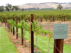 Shiraz vineyard at Barossa Valley, Adelaide - visit on an Australia sightseeing holiday tour