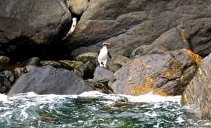 A wild penguin stood on a rock in Milford Sound – Distant Journeys Tour