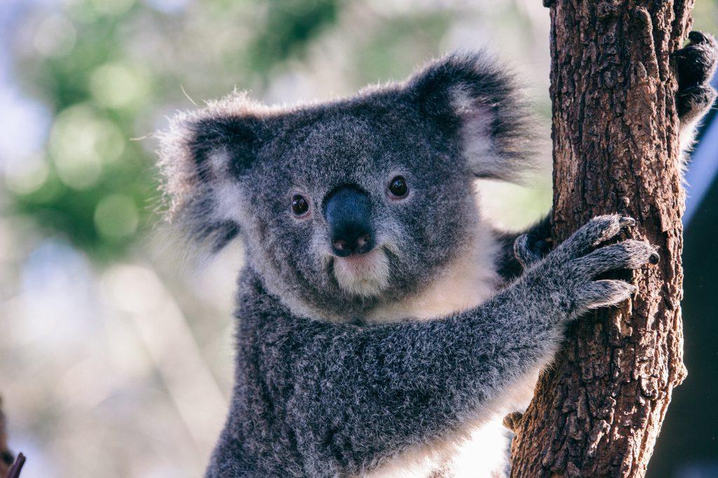 cuddly koala tree australia