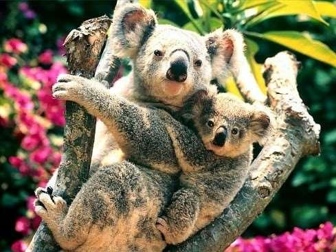 Meet cuddly koalas on our group tours of Australia
