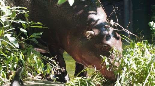 Felix the pygmy hippopotamus, father to calf born at Melbourne Zoo
