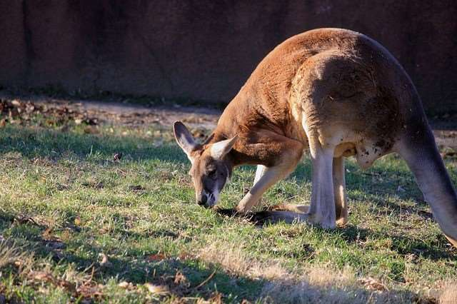 Meet some red kangaroos on our Australia and New Zealand tours