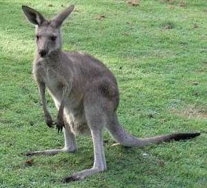 Eastern grey kangaroo - just one of the kangaroos you can encounter on a Distant Journeys tour of Australia