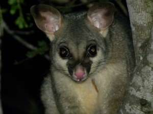 Possum seen roaming Abel Tasman National Park on our Distant Journeys New Zealand escorted tours