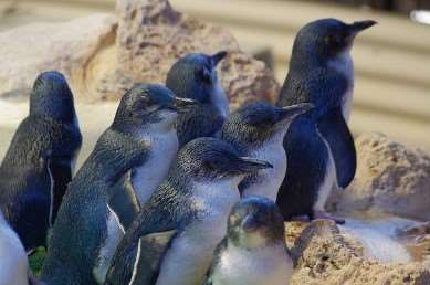 Meet the little penguins on Distant Journeys' tours of Australia
