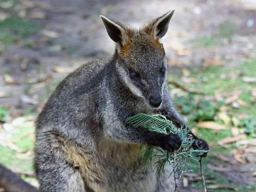 Wallaby – wildlife you can meet on your Australia holidays with Distant Journeys