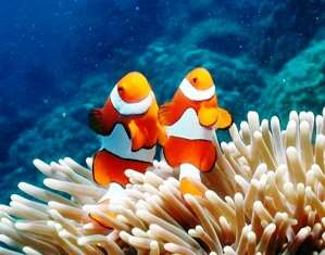 A colour picture of two clown fish in the great barrier reef