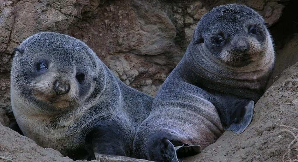 DUN Otago furseal pups