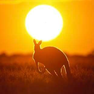 Kangaroo, sunset