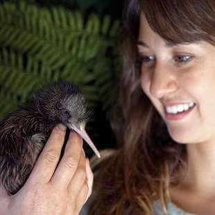 Baby Kiwi Chick at Rainbow Springs Kiwi House, Rotorua, New Zealand.  Model Release #524.
