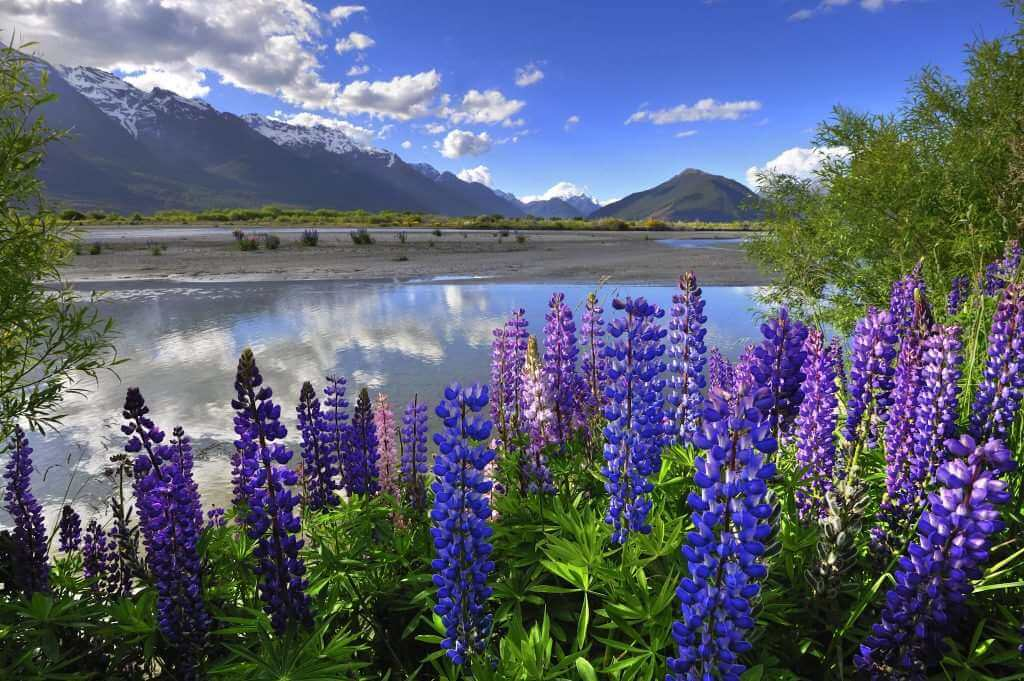 Lupines on river shore in New Zealand