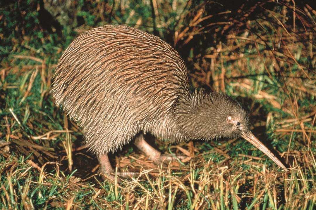 Rotorua Kiwi