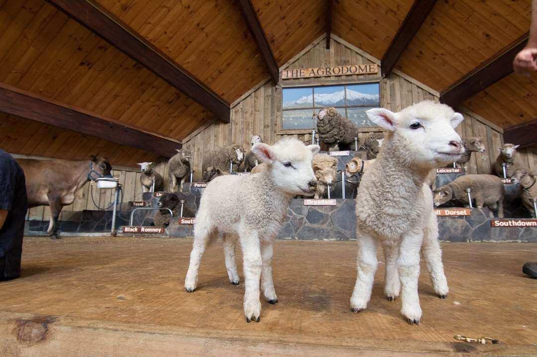 Rotorua Agrodome Farm vist