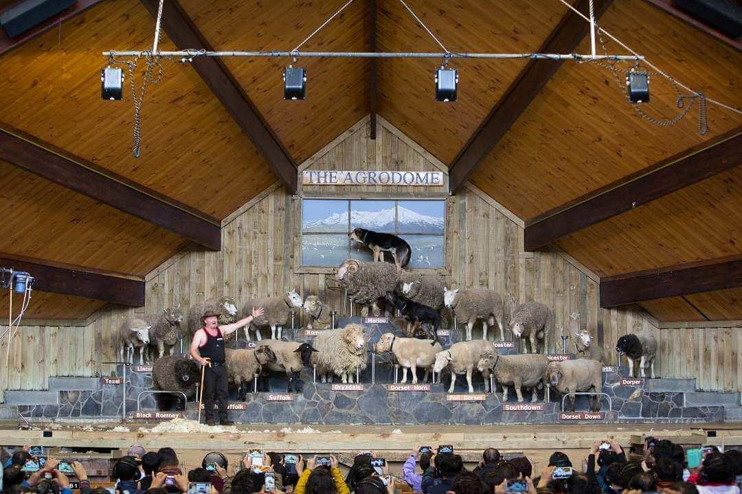 Rotorua Agrodome Farm visit sheep