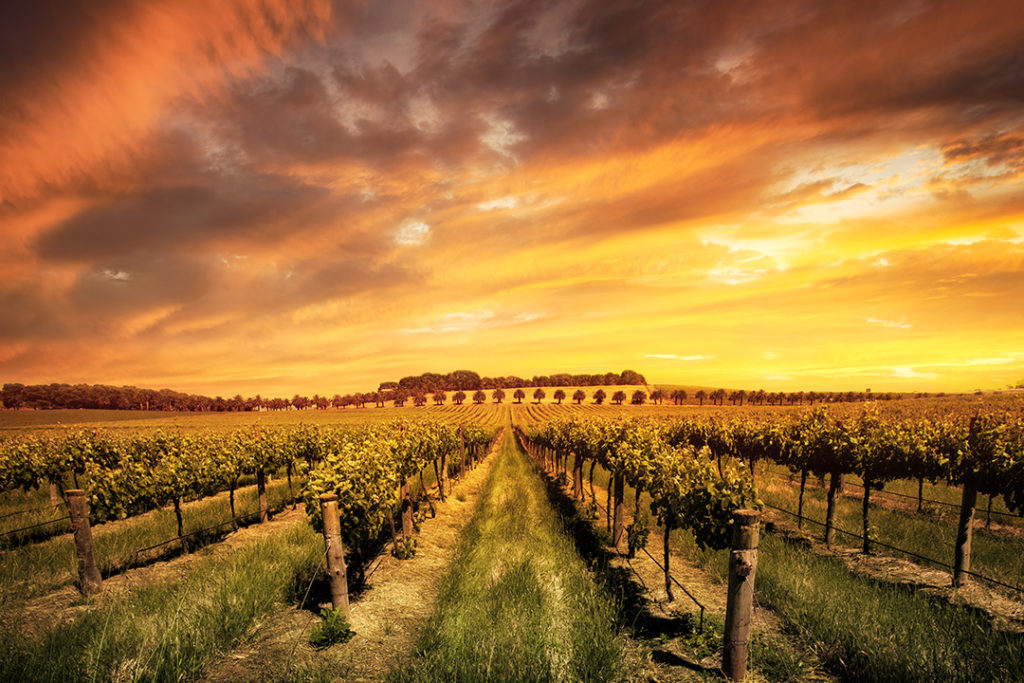 barossa-valley-morning-vines-adelaide