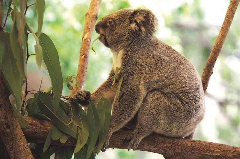 HCA Koala