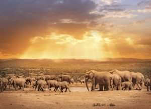 african elephats in south africa