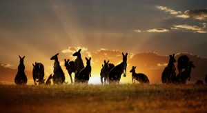 kangaroos orange sun australia