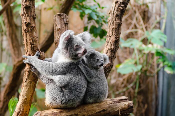 koala baby joey trees