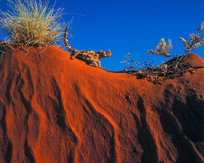 thorny devil desert wildlife australia