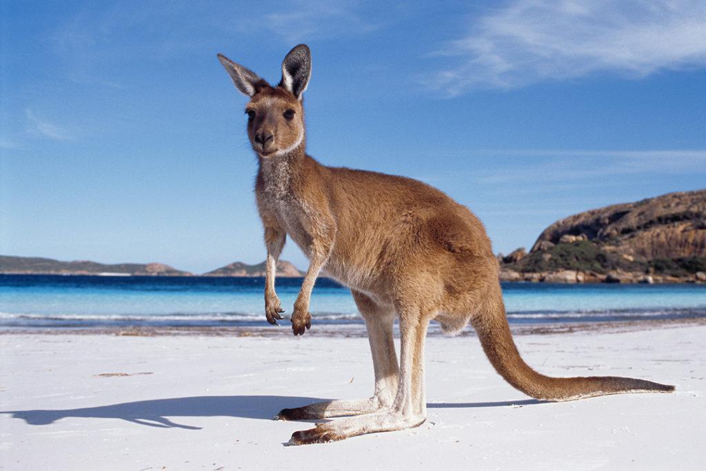 kangaroo-wildlife-australia