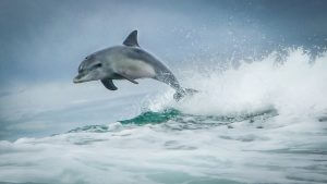 dolphin in australia jumping white ocean waves