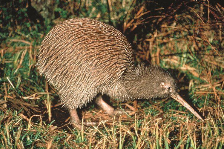 kiwi in new zealand