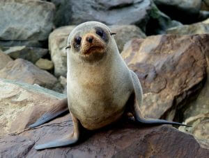 New Zealand Fur Seal Pup on rocks