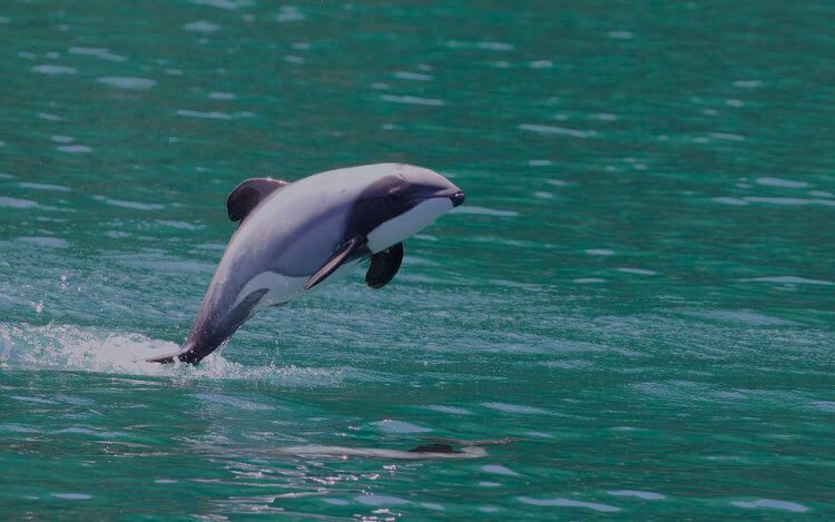 Hector's dolphin new zealand