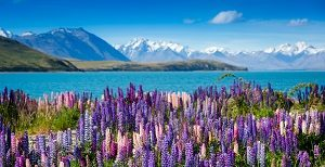 Lupins Mount Cook