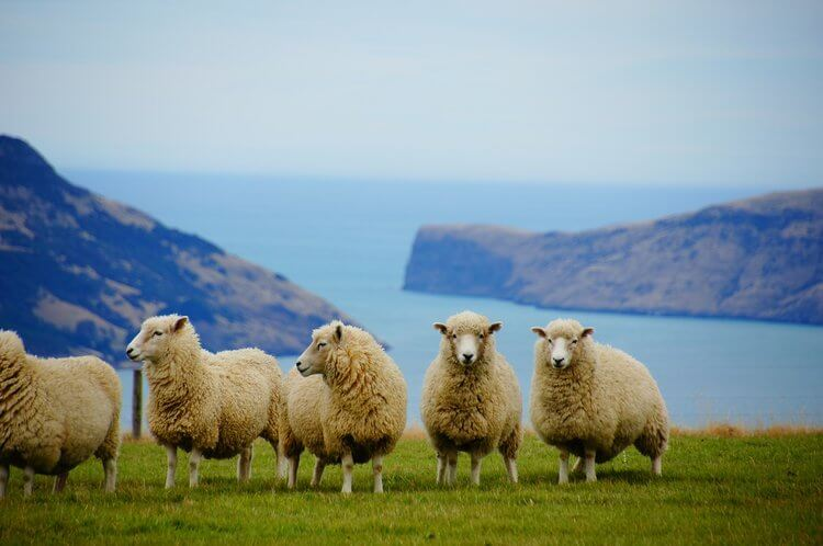 Sheep on coast New Zealand