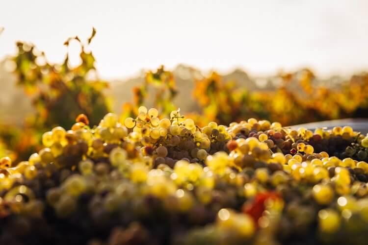basket of grapes Barossa Valley Australia