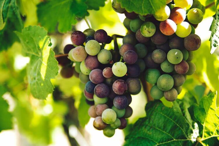 bunch of grapes hanging on grape vine